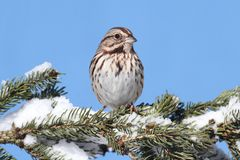 Sparrow In Snow. Song Sparrow (Melospiza melodia) perched on a snow covered tree limb royalty free stock image