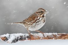 Sparrow In Snow. Song Sparrow (Melospiza melodia) perched on a snow covered tree limb in falling snow royalty free stock images