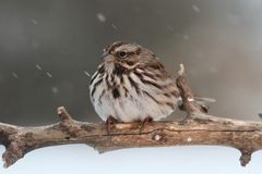 Sparrow In Snow. Song Sparrow (Melospiza melodia) perched on a snow covered tree limb in falling snow Stock Image