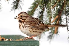 Sparrow In Snow. Song Sparrow (Melospiza melodia) perched on a feeder with snow Stock Images