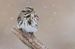 Sparrow In Snow. Song Sparrow (Melospiza melodia) perched on a tree limb in snow royalty free stock photo