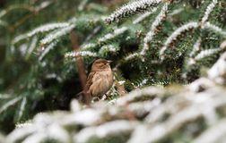 Sparrow on a snow tree branch Stock Image