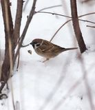 Sparrow on snow in the winter. In the park in nature Royalty Free Stock Image