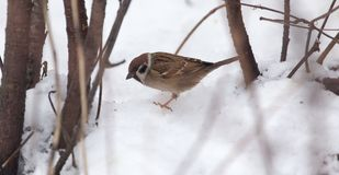 Sparrow on snow in the winter.  Stock Image
