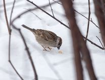 Sparrow on snow in the winter. In the park in nature Royalty Free Stock Photo