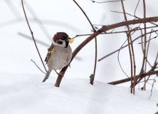 Sparrow on snow in the winter. In the park in nature Royalty Free Stock Images
