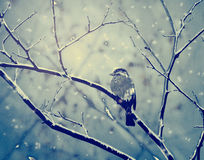 Sparrow on the snowy branch Royalty Free Stock Photography