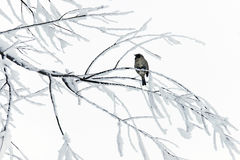 Sparrow on snowy branches. Royalty Free Stock Photography