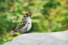 Sparrow. A sparrow song bird perched on a rock stock image