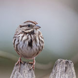 Sparrow. A song sparrow perched on a stockade fence Stock Image