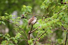 Sparrow. Sparrow in green nature. Sparrows on a branches. Male house sparrow or Passer domesticus is a bird of the sparrow family. Sparrow. Sparrow in green Royalty Free Stock Photos
