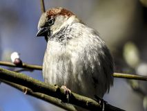 Sparrow, Sperling, House Sparrow Royalty Free Stock Photos
