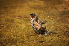Sparrow, Sperling, Wet, Water Stock Photos
