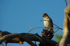Sparrow (spizella passerina) on tiny branch. A small sparrow I spotted resting on that tiny little branch,under the blue sky stock images