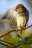 Sparrow spreading a wing Stock Image