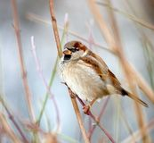 Sparrow on sprig Stock Photo