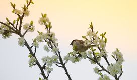 Sparrow on spring flowers Royalty Free Stock Photos