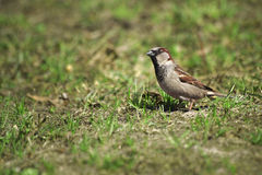 Sparrow on the spring grass. Royalty Free Stock Photos