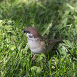 Sparrow in spring grass Royalty Free Stock Photography