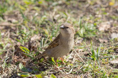 Sparrow in spring Stock Photography