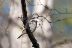 Sparrow on a spring tree. Sparrow on a branch with spring buds Royalty Free Stock Images
