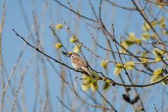 Sparrow on a spring willow Royalty Free Stock Photo