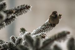 Sparrow on Spruce Branches. Royalty Free Stock Photography
