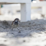 Sparrow stand on beach sand Royalty Free Stock Images