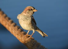 Sparrow standing on brown rope, , closeup. Stock Photography