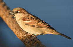 Sparrow standing on brown rope, isolated, closeup. Royalty Free Stock Photo