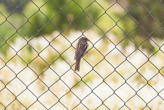 Sparrow standing on chainlink fence Stock Image