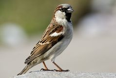 Sparrow-5 Stock Photo