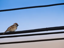 Sparrow Standing on Fur on The Line stock images