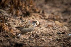 A sparrow is standing on the ground Stock Photos