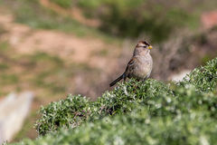 Sparrow Standing on Plant Looking to the Right Royalty Free Stock Images