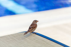 Sparrow standing on sunbed by the swimming pool. Sparrow waiting for a few crumb Stock Images