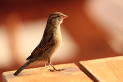 Sparrow Standing on a table. A small bird was standing on a table at the end of the day by a nice and warm natural light Stock Photo