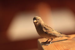 Sparrow Standing on a table. A small bird was standing on a table at the end of the day by a nice and warm natural light Stock Images