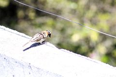 Sparrow standing on a wall royalty free stock photo