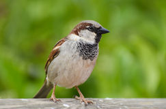 Sparrow standing on wood in front of green background. Royalty Free Stock Image
