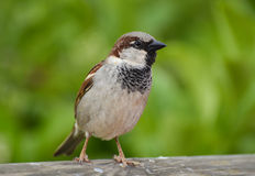 Sparrow standing on wood in front of green background. Stock Photo