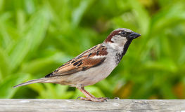 Sparrow standing on wood in front of green background. Stock Photos