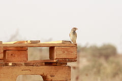 Sparrow standing on a wooden pallet Royalty Free Stock Photo