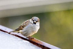 Sparrow stare Royalty Free Stock Photos