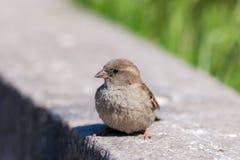 Sparrow on a stone stock photography