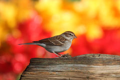 Sparrow On A Stump In Fall. Chipping Sparrow (Spizella passerina) on a stump in fall with autumn colors stock image