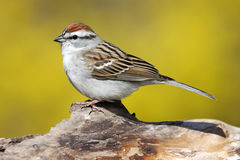 Sparrow On A Stump In Spring. Chipping Sparrow (Spizella passerina) on a stump in spring with yellow forsythia bushes royalty free stock photos