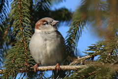 Sparrow in the sun. In the winter months sparrows love basking in the sun Royalty Free Stock Photo