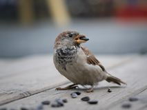 A Sparrow with a sunflower seed in its beak Royalty Free Stock Photography