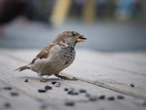 A Sparrow with a sunflower seed in its beak Stock Images